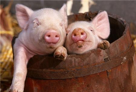 如何预防新购仔猪不生病?这6点要牢记!